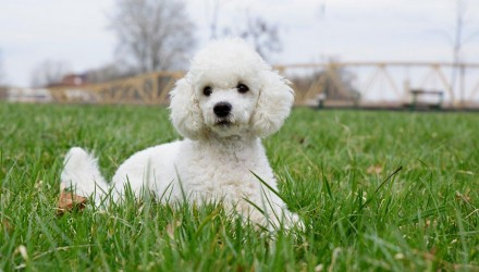 breed-poodle-2